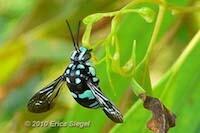 Native Australian Cuckoo Bee