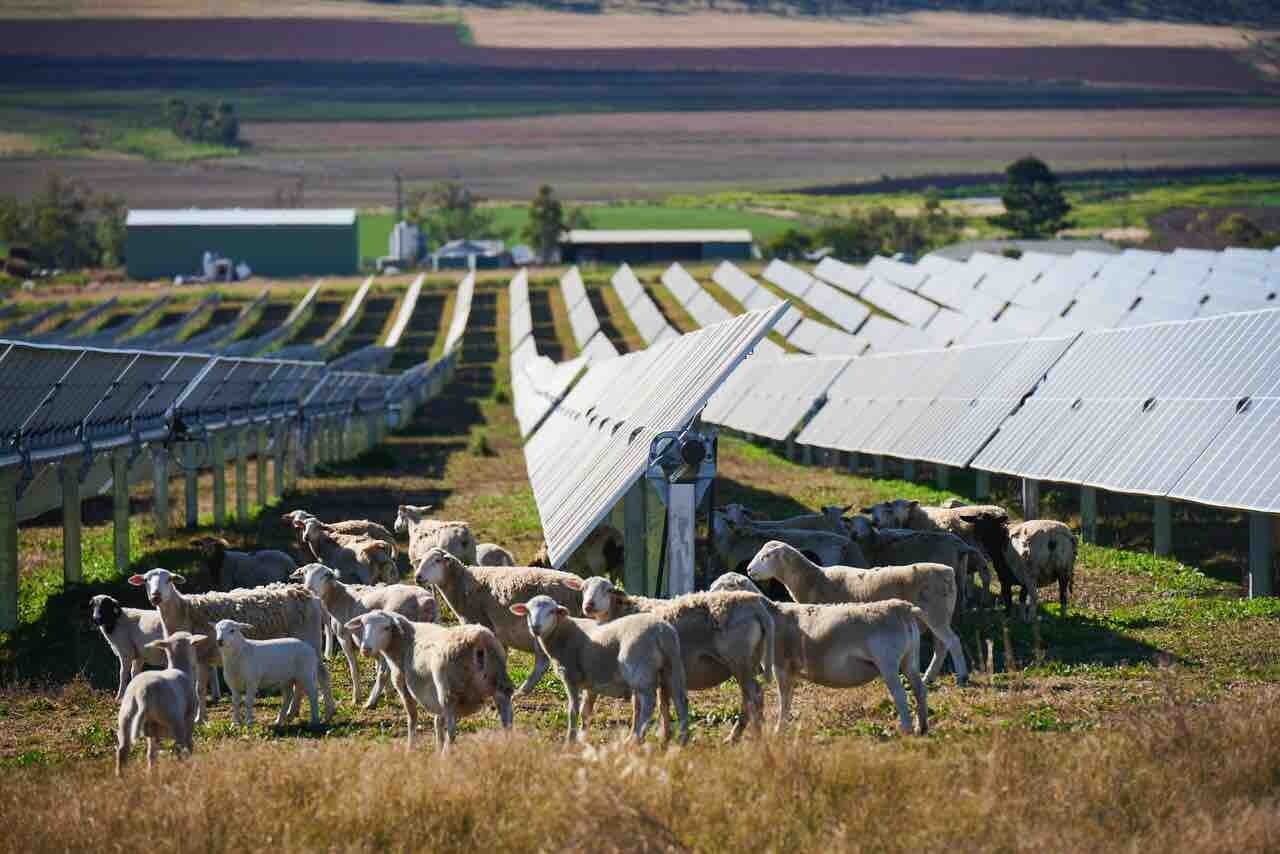 sheep on solar farm